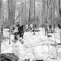 People collecting maple sap in buckets hanging from trees. In the centre, a horse is pulling a wagon.