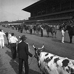 Two rows of men are holding the bridles of oxen and horses. They are all parading in front of a large viewing stand.