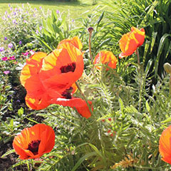 Flowers (poppies) in a garden.